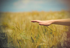 Фото женской руки под пшеничным полем на чудесной задней части неба Стоковые Изображения RF