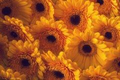 Фото желтых gerberas, фотографии макроса и предпосылки цветков Желтая маргаритка стоковая фотография rf