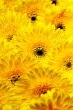 Фото желтых gerberas, фотографии макроса и предпосылки цветков стоковая фотография