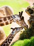 Фото жирафа от отключения к зоопарку Стоковое Изображение