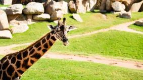 Фото жирафа от отключения к зоопарку Стоковое фото RF