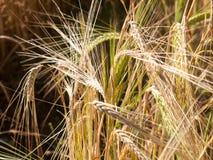 Фото запаса - одиночная нить поля золотой пшеницы травы в su стоковые изображения rf