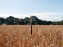 Фото запаса - одиночная нить поля золотой пшеницы травы в su стоковые изображения