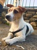 Фото запаса собаки терьера Джека Рассела Стоковое Изображение RF