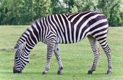 Фото зебры есть траву на поле Стоковая Фотография RF