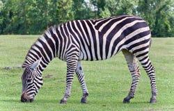 фото зебры есть траву Стоковое Изображение