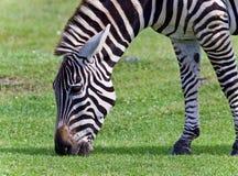 фото зебры есть траву Стоковая Фотография RF