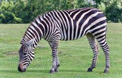 фото зебры есть траву Стоковые Фото