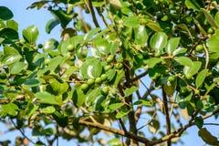 Фото зеленых слив и лист Стоковые Фото