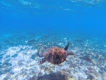 Фото зеленой морской черепахи подводное Черепаха моря в голубой воде Морские заплывы черепахи в отмелой морской воде Стоковые Изображения