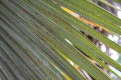 Фото зеленых лист ладони Стоковое фото RF