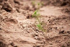 Фото зеленых ростков ели засаженных в почве Стоковое Фото