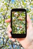 Фото зрелых розовых яблок на дереве с цветениями Стоковая Фотография