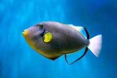 Фото исключительного Triggerfish стоковое изображение rf
