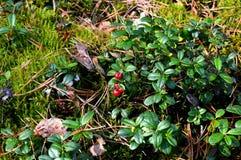 фото иллюстрации пущи ягод реалистическое стоковые фотографии rf