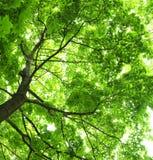 фото клена предпосылки зеленое Стоковые Фотографии RF