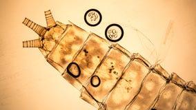 Фото кожи нимфы подёнки микроскопическое Стоковые Изображения RF