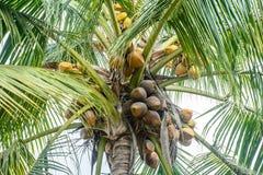 Фото кокосов и кокосовой пальмы Стоковая Фотография RF