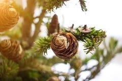 Фото конца-вверх ветвей сосны на солнечный день Принципиальная схема Christmass сезонно стоковые изображения rf