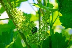 Фото конца-вверх золотого bronzovka сидя на виноградинах Конец жука Bronzovka вверх Бичи жуков на виноградинах стоковое изображение