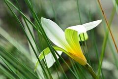 Фото конца-вверх красивого белого цветка, с освещает контржурным светом который выделяет линии на лепестках; мягкая зеленая предп стоковое изображение rf