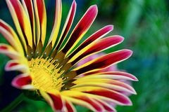 Фото конца-вверх красивого цветка gazania сада стоковое фото