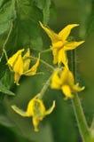 Фото конца-вверх нескольких цветков томата Стоковые Фотографии RF