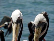 Фото конца-вверх пеликанов на рынке стоковое изображение rf