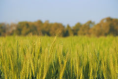 Пшеница в Израиле Стоковая Фотография