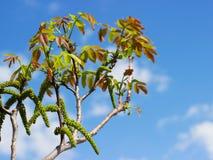 Фото конца-вверх цветений и всходов дерева грецкого ореха Стоковое Изображение RF
