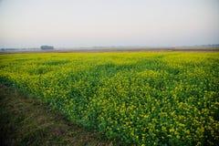 Фото красивого зеленого поля урожаев мустарда уникальное стоковое фото