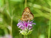 Фото красивой бабочки сидя на цветках Стоковое Изображение