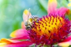 Фото красивой пчелы и цветков солнечный день Стоковые Изображения