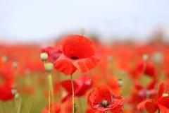 Фото красивых красных маков Стоковое Изображение RF