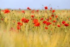 Фото красивых красных маков Стоковое фото RF