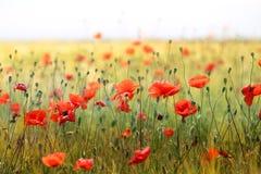 Фото красивых красных маков Стоковые Изображения RF