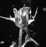 Фото красной розы на зеленой предпосылке листвы черно-белой Стоковые Фото