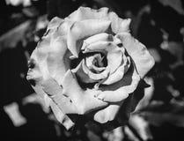 Фото красной розы на зеленой предпосылке листвы черно-белой Стоковые Изображения RF