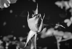 Фото красной розы на зеленой предпосылке листвы черно-белой Стоковое Изображение RF