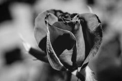 Фото красной розы на зеленой предпосылке листвы черно-белой Стоковая Фотография RF