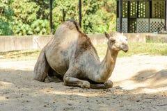 Фото крупного плана верблюда на песке Стоковое Изображение RF