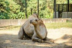 Фото крупного плана верблюда на песке Стоковое Изображение