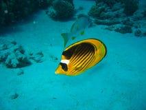 Фото крупного плана рыб бабочки Оно имеет оранжевый цвет с черной линией на верхней части тела и белое пятно близко наблюдает стоковое фото