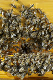 Фото крупного плана семьи пчелы Стоковые Фотографии RF