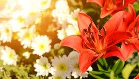 Фото крупного плана красной лилии Стоковая Фотография RF