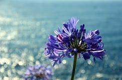 Фото крупного плана также вызванной лилии Нила, цветком лилии Африканск Голуб стоковые фотографии rf