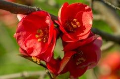 Фото крупного плана цветков chaenomeles Стоковая Фотография