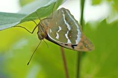 Фото макроса бабочки на лист Стоковые Изображения RF