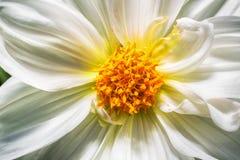 Фото макроса белой хризантемы Стоковые Изображения RF
