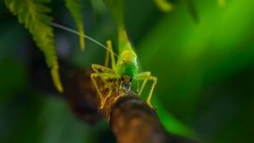 Фото макроса большего зеленого куст-сверчка стоковое фото rf